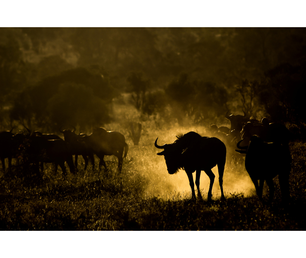 Backlit-Wildebeest.-Photography-by-Ricky-Tibane-2048_Giornata-Mondiale-dell'Ambiente.jpg