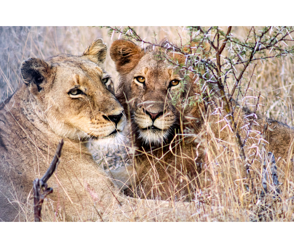 Lions. Photography By Joia Mcunu 2048 Giornata Mondiale Dell'Ambiente